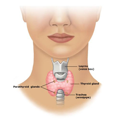 Thyroid Gland  -