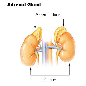 Adrenal Gland  -